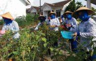 Panen Kebun Ketahanan Pangan di Jalasenastri Lanal Yogyakarta